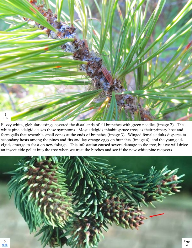 Fuzzy white, globular casings covered the distal ends of all branches with green needles (image 2). The white pine adelgid causes these symptoms. Most adelgids inhabit spruce trees as their primary host and form galls that resemble small cones at the ends of branches (image 3). Winged female adults disperse to secondary hosts among the pines and firs and lay orange eggs on branches (image 4), and the young ad- elgids emerge to feast on new foliage. This infestation caused severe damage to the tree, but we..