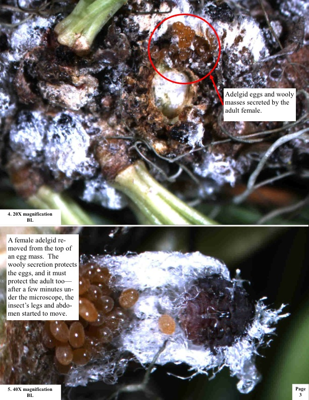 A female adelgid re- moved from the top of an egg mass. The wooly secretion protects the eggs, and it must protect the adult too— after a few minutes un- der the microscope, the insect's legs and abdomen started to move.
