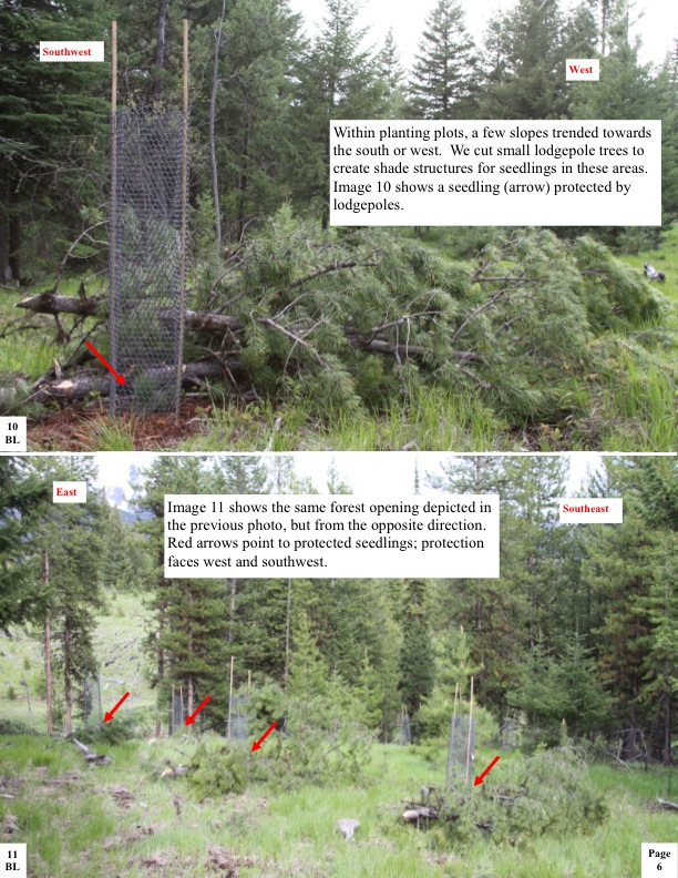 Within planting plots, a few slopes trended towards the south or west. We cut small lodgepole trees to create shade structures for seedlings in these areas. Image 10 shows a seedling (arrow) protected by lodgepoles.