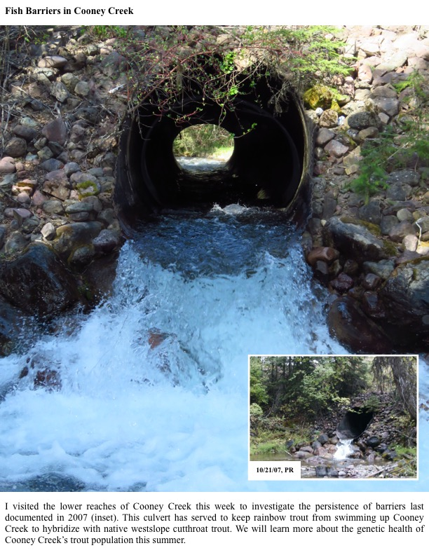I visited the lower reaches of Cooney Creek this week to investigate the persistence of barriers last documented in 2007 (inset).