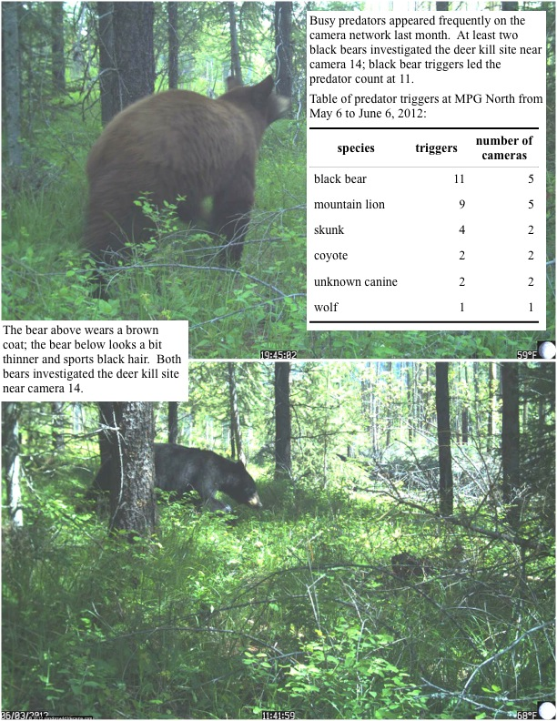 Busy predators appeared frequently on the camera network last month. At least two black bears investigated the deer kill site near camera 14; black bear triggers led the predator count at 11. Table of predator triggers at MPG North from May 6 to June 6, 2012: