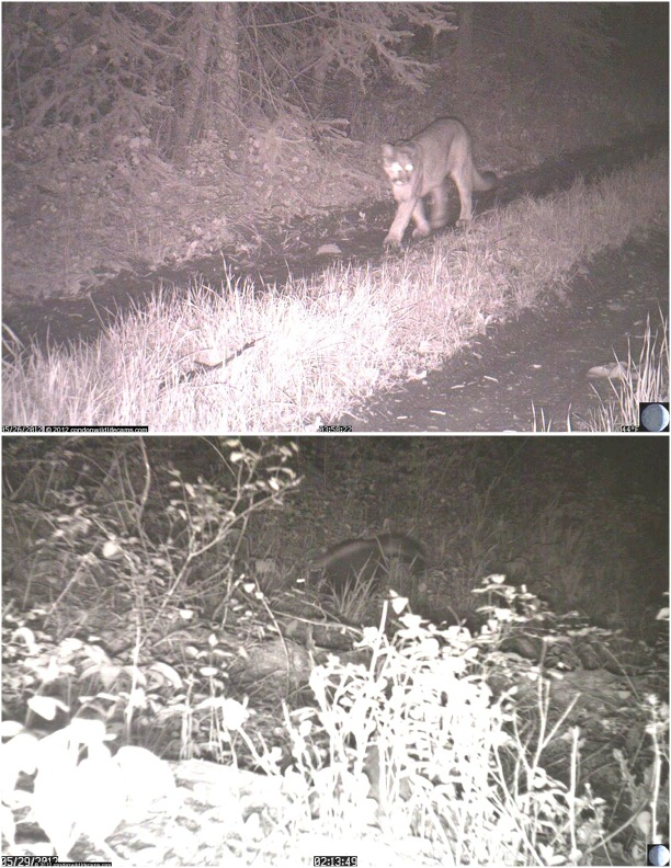 Above: Mountain Lion, below: Stripped Skunk