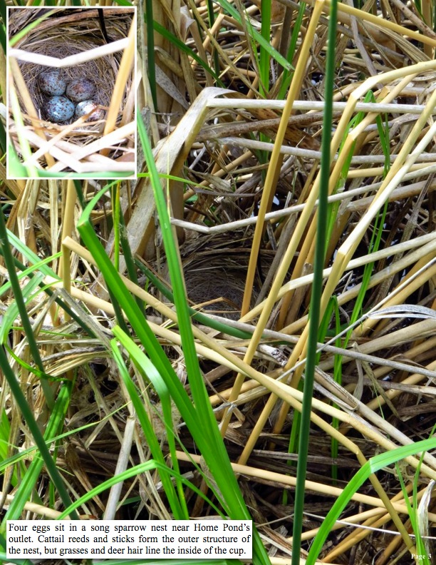 Four eggs sit in a song sparrow nest near Home Pond's outlet. Cattail reeds and sticks form the outer structure of the nest, but grasses and deer hair line the inside of the cup.