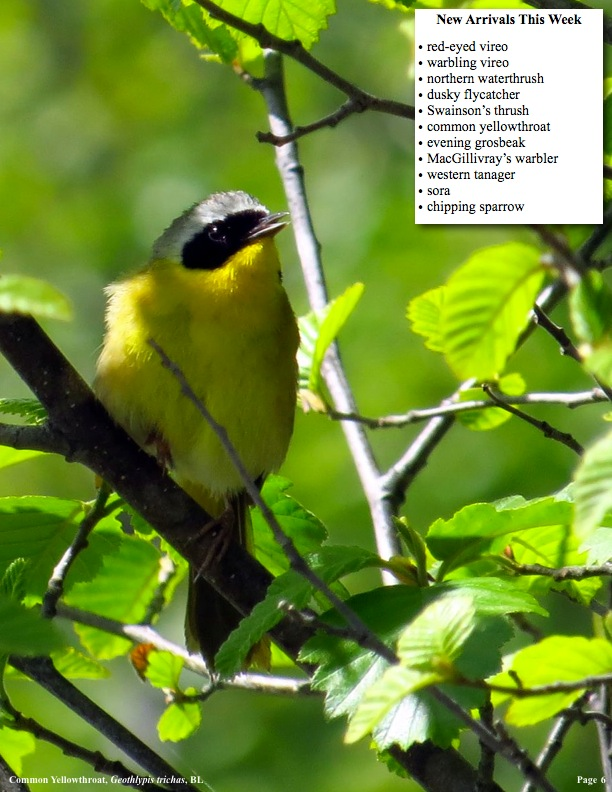 New Arrivals This Week, red-eyed vireo, warbling vireo, northern waterthrush, dusky flycatcher, Swainson's thrush, common yellowthroat, evening grosbeak, MacGillivray's warbler, western tanager, sora, chipping sparrow