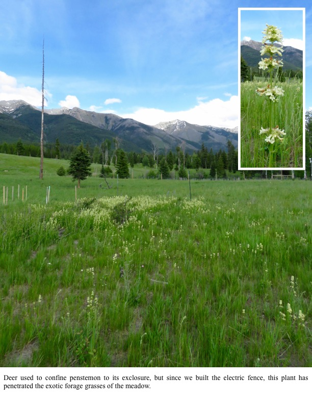 Deer used to confine penstemon to its exclosure, but since we built the electric fence, this plant has penetrated the exotic forage grasses of the meadow.
