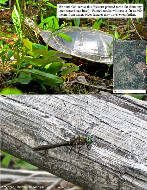 We stumbled across this Western painted turtle far from any open water (map inset). Painted turtles will nest as far as 600 meters from water; older females may travel even farther. American Emerald Dragonfly (below).