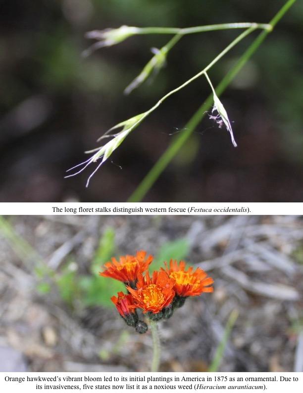 The long floret stalks distinguish western fescue (Festuca occidentalis)