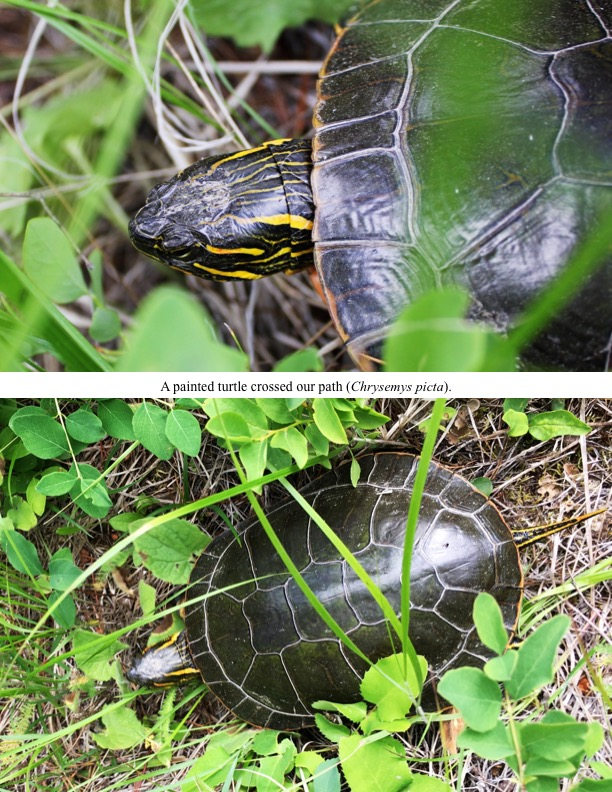 A painted turtle crossed our pat