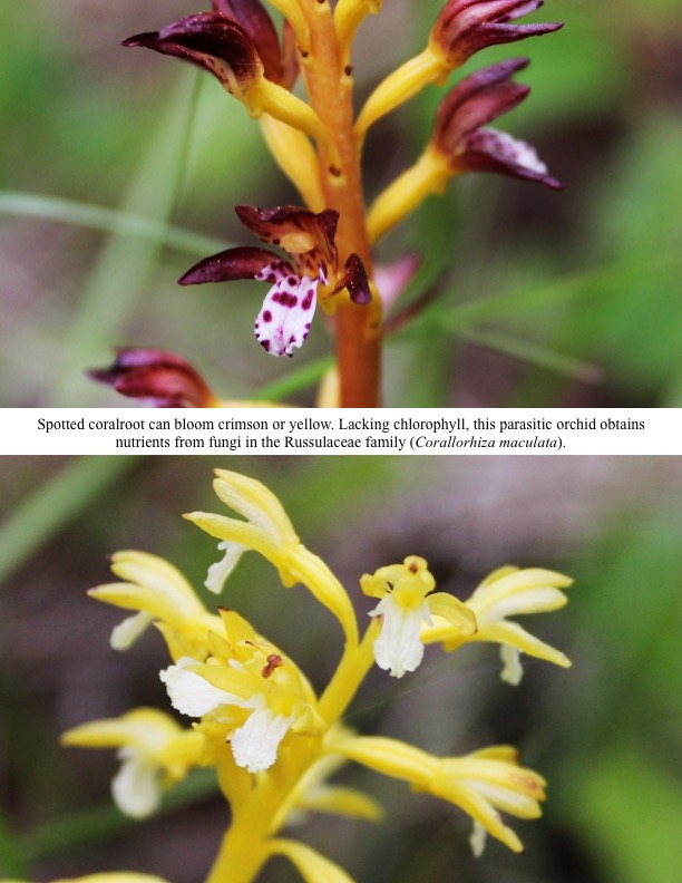 Spotted coralroot can bloom crimson or yellow. Lacking chlorophyll, this parasitic orchid obtains nutrients from fungi in the Russulaceae family (Corallorhiza maculata).
