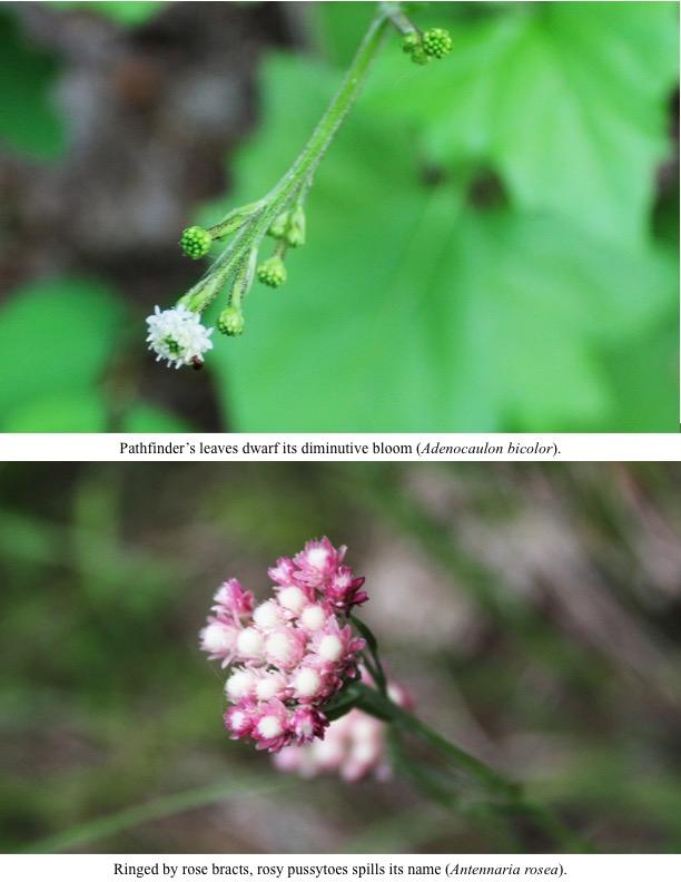 Pathfinder's leaves dwarf its diminutive bloom (Adenocaulon bicolor).