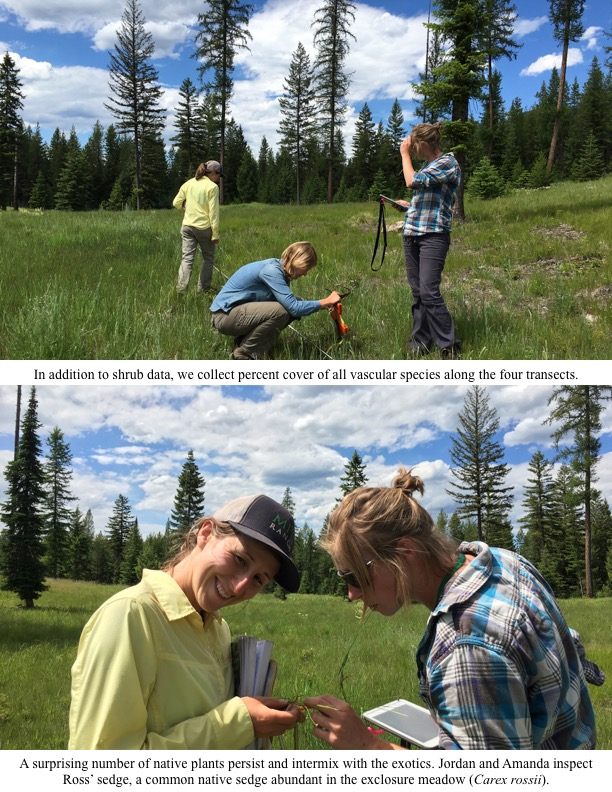 A surprising number of native plants persist and intermix with the exotics. Jordan and Amanda inspect Ross' sedge, a common native sedge abundant in the exclosure meadow (Carex rossii).