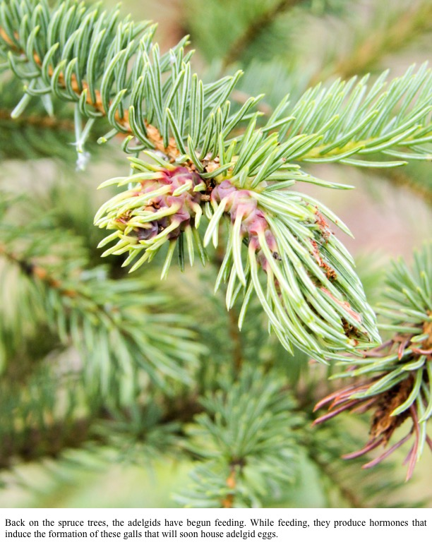 Back on the spruce trees, the adelgids have begun feeding. While feeding, they produce hormones that induce the formation of these galls that will soon house adelgid eggs.