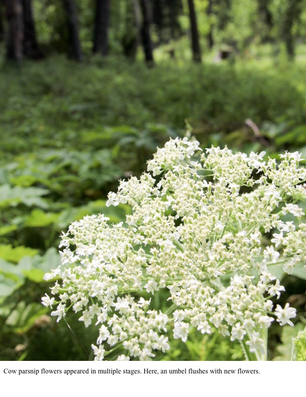 Cow parsnip flowers appeared in multiple stages. Here, an umbel flushes with new flowers.