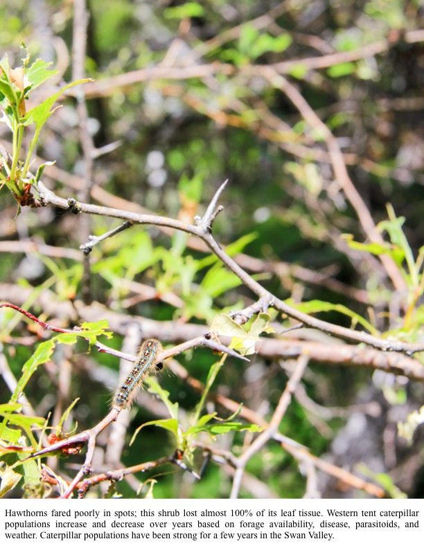 Hawthorns fared poorly in spots; this shrub lost almost 100% of its leaf tissue. Western tent caterpillar populations increase and decrease over years based on forage availability, disease, parasitoids, and weather. Caterpillar populations have been strong for a few years in the Swan Valley.