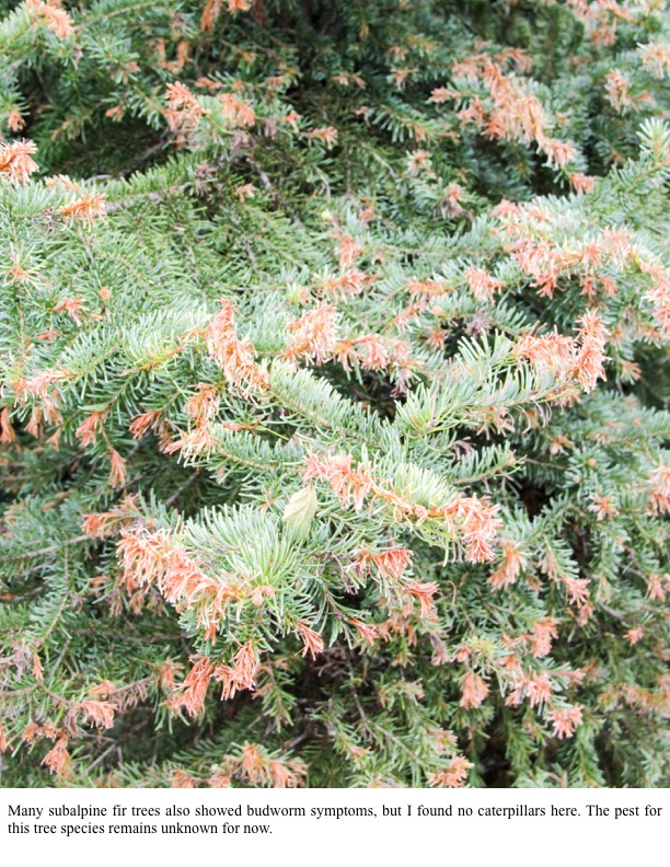 Many subalpine fir trees also showed budworm symptoms, but I found no caterpillars here. The pest for this tree species remains unknown for now.