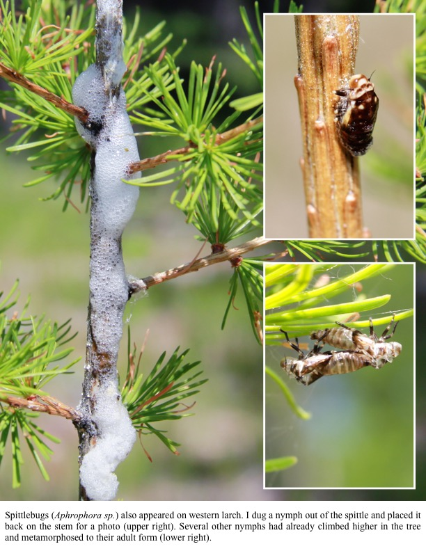 Spittlebugs (Aphrophora sp.) also appeared on western larch. I dug a nymph out of the spittle and placed it back on the stem for a photo (upper right). Several other nymphs had already climbed higher in the tree and metamorphosed to their adult form (lower right).