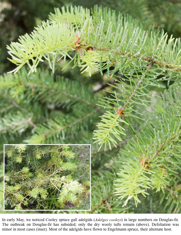 In early May, we noticed Cooley spruce gall adelgids (Adelges cooleyi) in large numbers on Douglas-fir. The outbreak on Douglas-fir has subsided; only the dry wooly tufts remain (above). Defoliation was minor in most cases (inset). Most of the adelgids have flown to Engelmann spruce, their alternate host.