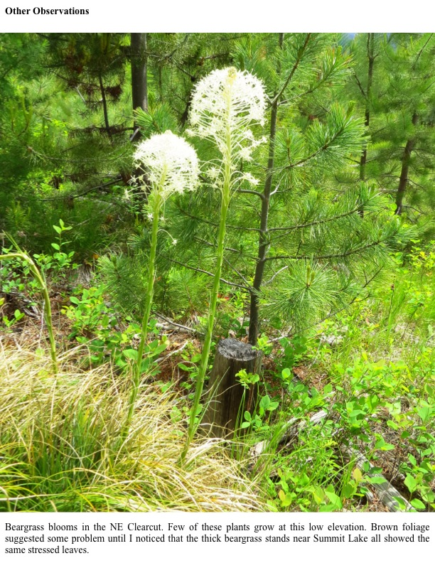 Beargrass blooms in the NE Clearcut. Few of these plants grow at this low elevation. Brown foliage suggested some problem until I noticed that the thick beargrass stands near Summit Lake all showed the same stressed leaves.