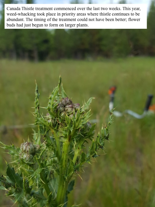 This year, weed-whacking took place in priority areas where thistle continues to be abundant.