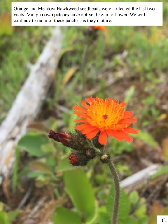 Orange and Meadow Hawkweed seedheads were collected the last two visits. Many known patches have not yet begun to flower.