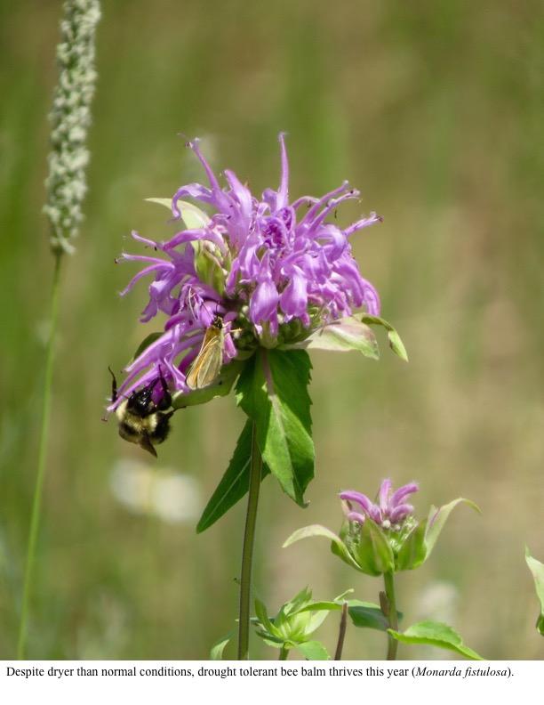 Despite dryer than normal conditions, drought tolerant bee balm thrives this year (Monarda fistulosa).
