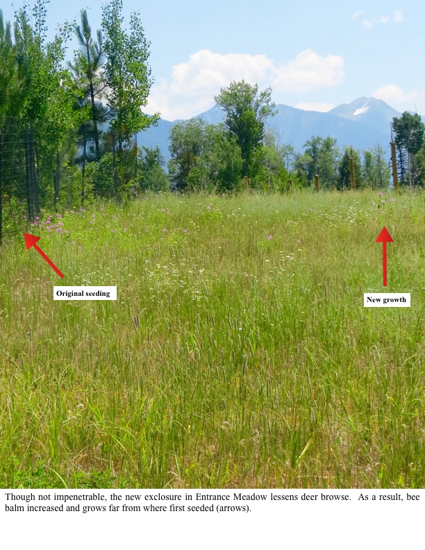Though not impenetrable, the new exclosure in Entrance Meadow lessens deer browse. As a result, bee balm increased and grows far from where first seeded (arrows).