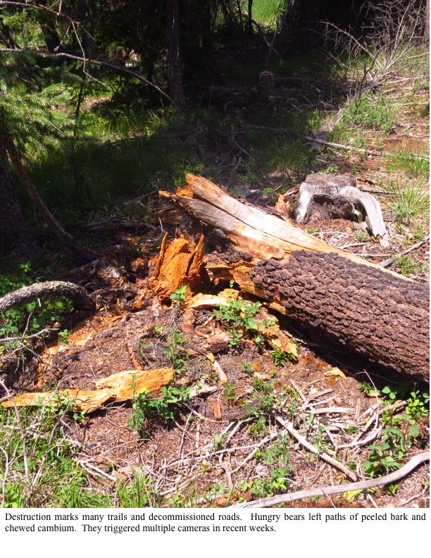 estruction marks many trails and decommissioned roads. Hungry bears left paths of peeled bark and chewed cambium. They triggered multiple cameras in recent weeks.