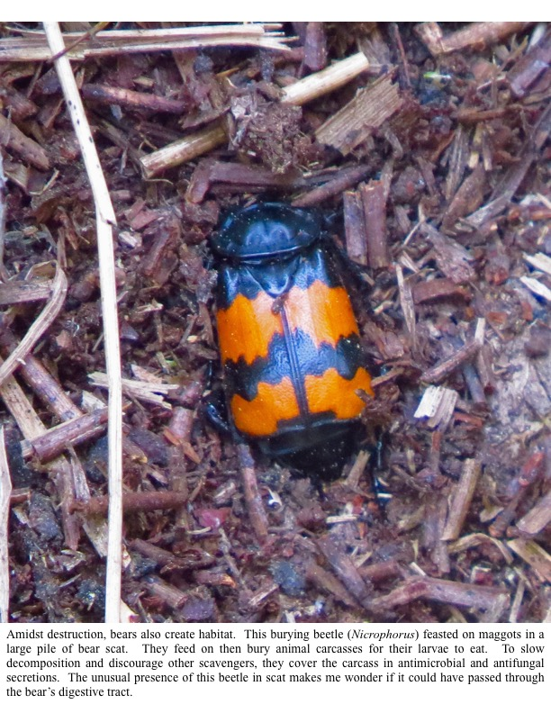 Amidst destruction, bears also create habitat. This burying beetle (Nicrophorus) feasted on maggots in a large pile of bear scat. They feed on then bury animal carcasses for their larvae to eat. To slow decomposition and discourage other scavengers, they cover the carcass in antimicrobial and antifungal secretions. The unusual presence of this beetle in scat makes me wonder if it could have passed through the bear's digestive tract.