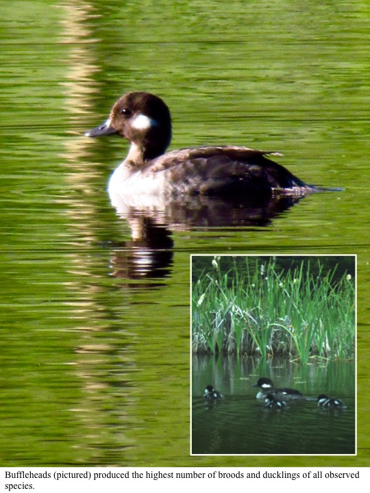 Buffleheads (pictured) produced the highest number of broods and ducklings of all observed species.