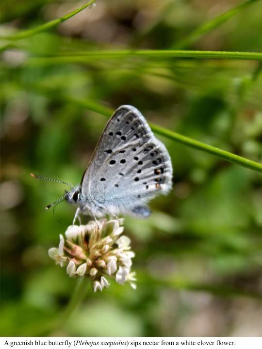 A greenish blue butterfly (Plebejus saepiolus) sips nectar from a white clover flower.