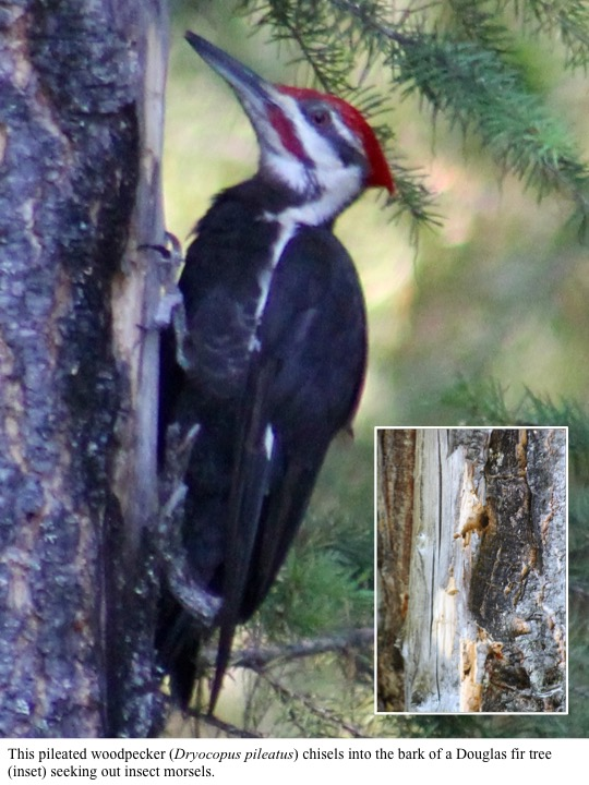 This pileated woodpecker (Dryocopus pileatus) chisels into the bark of a Douglas fir tree (inset) seeking out insect morsels.