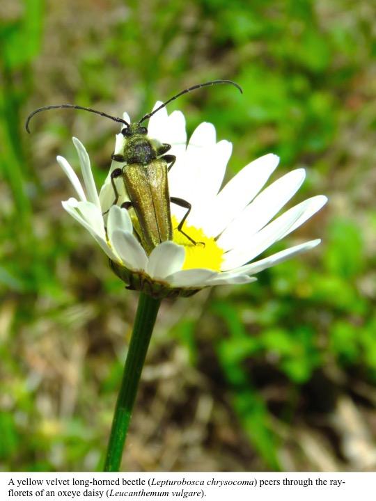 A yellow velvet long-horned beetle (Lepturobosca chrysocoma) peers through the rayflorets of an oxeye daisy (Leucanthemum vulgare).
