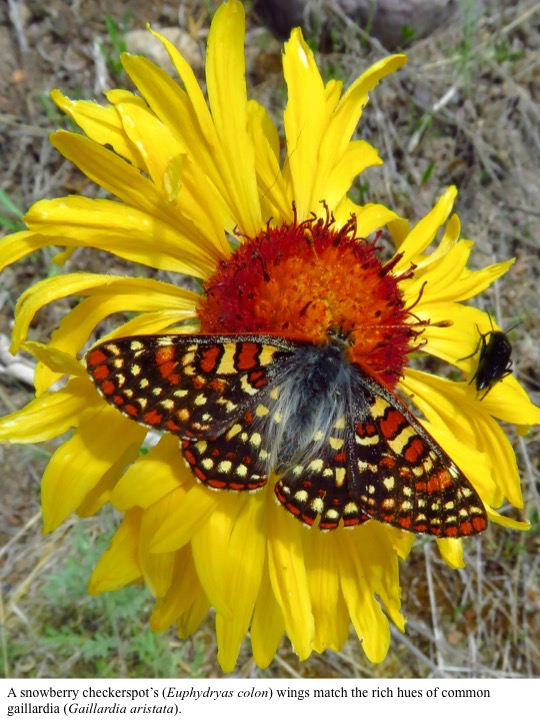 A snowberry checkerspot's (Euphydryas colon) wings match the rich hues of common gaillardia (Gaillardia aristata).