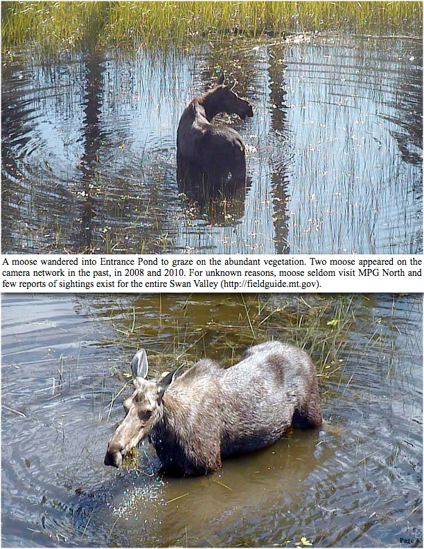 A moose wandered into Entrance Pond to graze on the abundant vegetation. Two moose appeared on the camera network in the past, in 2008 and 2010. For unknown reasons, moose seldom visit MPG North and few reports of sightings exist for the entire Swan Valley (http://fieldguide.mt.gov).