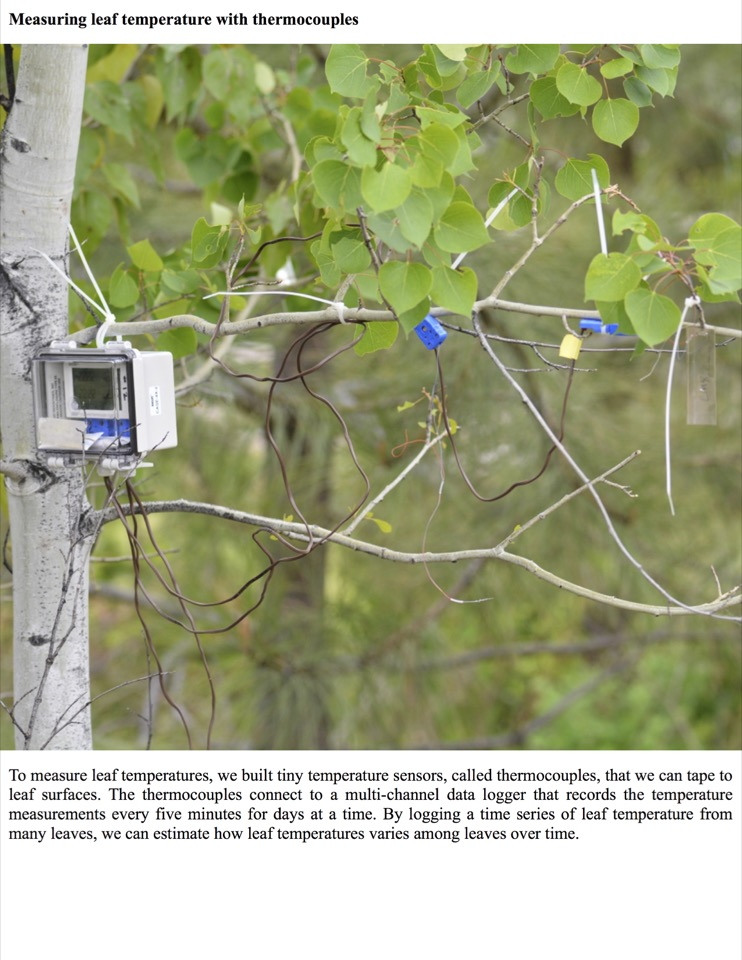 To measure leaf temperatures, we built tiny temperature sensors, called thermocouples, that we can tape to leaf surfaces.