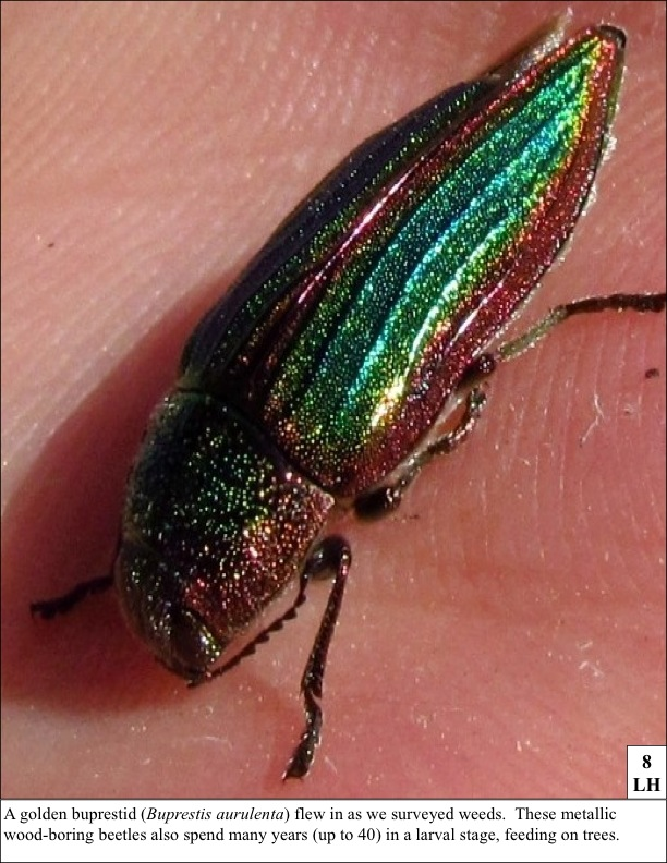 A golden buprestid (Buprestis aurulenta) flew in as we surveyed weeds. These metallic wood-boring beetles also spend many years (up to 40) in a larval stage, feeding on trees.
