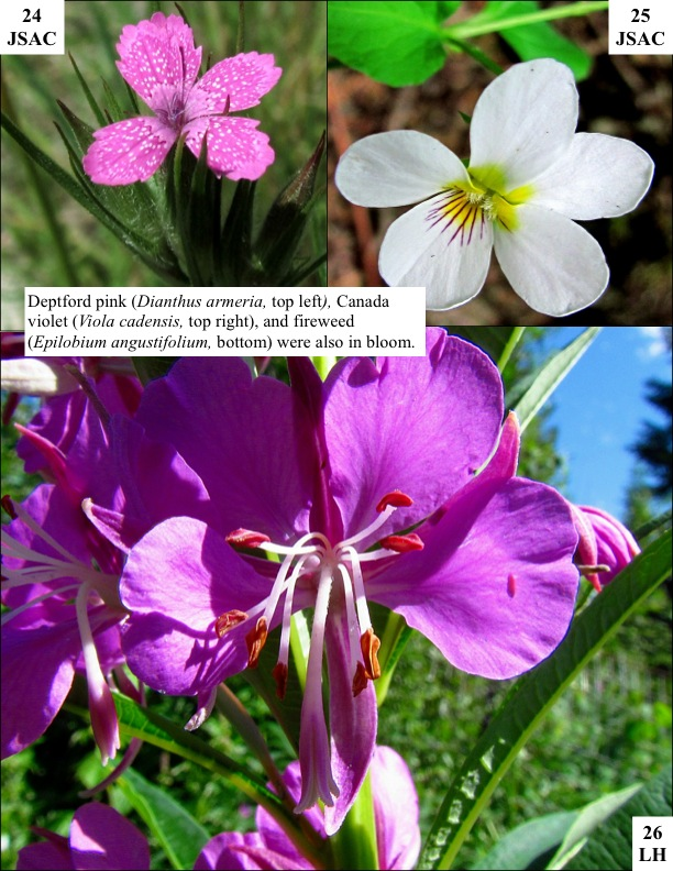 Deptford pink (Dianthus armeria, top left), Canada violet (Viola cadensis, top right), and fireweed (Epilobium angustifolium, bottom) were also in bloom.
