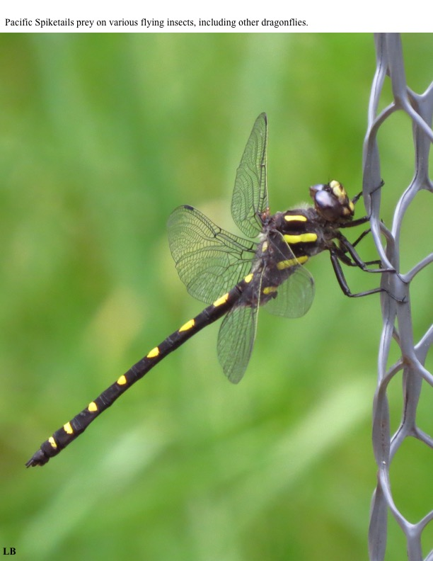 Pacific Spiketails prey on various flying insects, including other dragonflies.
