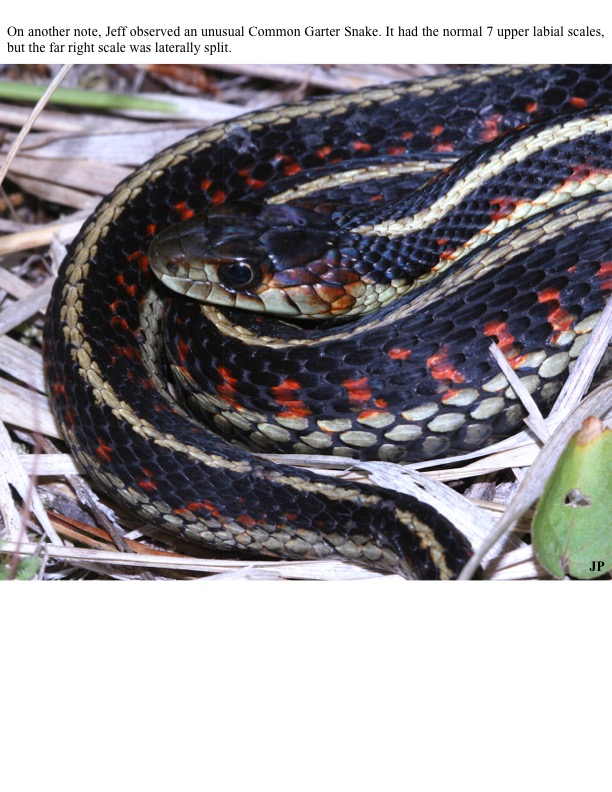 On another note, Jeff observed an unusual Common Garter Snake. It had the normal 7 upper labial scales, but the far right scale was laterally split.