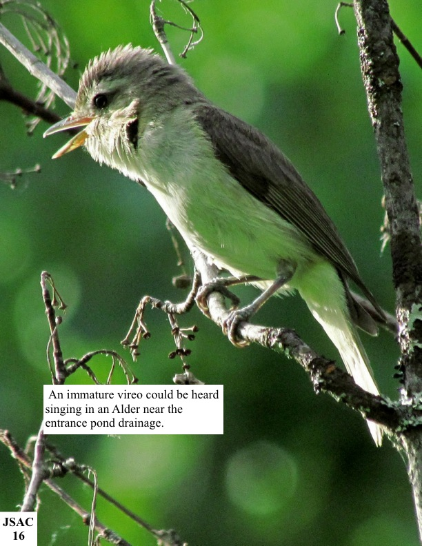 An immature vireo could be heard singing in an Alder near the entrance pond drainage.