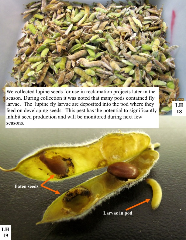 We collected lupine seeds for use in reclamation projects later in the season. During collection it was noted that many pods contained fly larvae. The lupine fly larvae are deposited into the pod where they feed on developing seeds. This pest has the potential to significantly inhibit seed production and will be monitored during next few seasons.