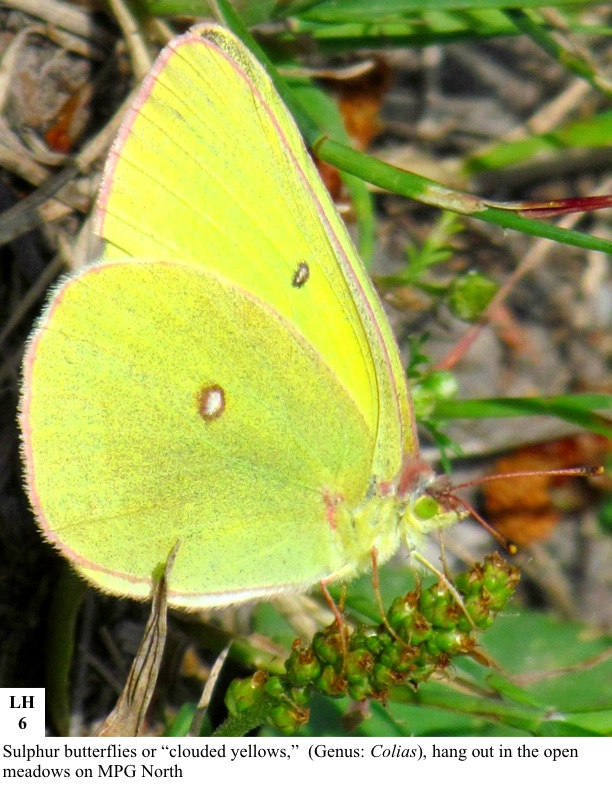 """Sulphur butterflies or """"clouded yellows,"""" (Genus: Colias), hang out in the open meadows on MPG North"""