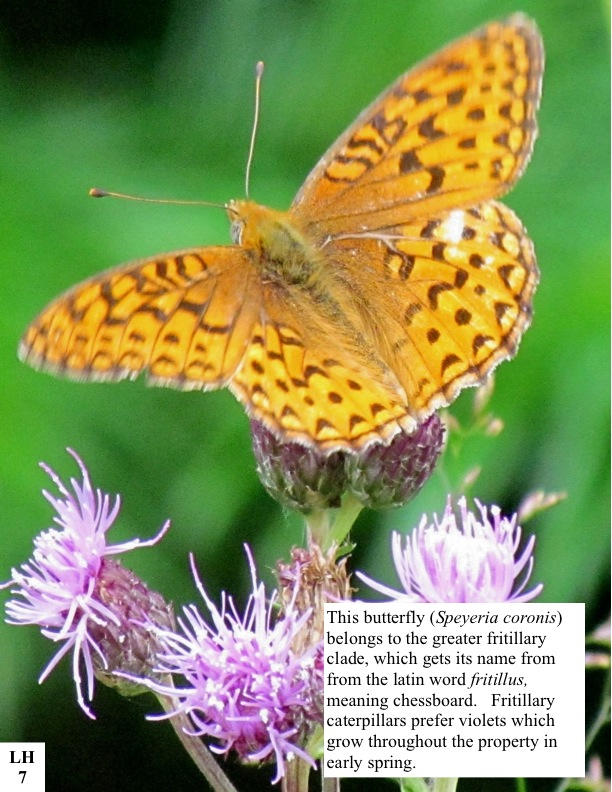 This butterfly (Speyeria coronis) belongs to the greater fritillary clade, which gets its name from from the latin word fritillus, meaning chessboard. Fritillary caterpillars prefer violets which grow throughout the property in early spring.