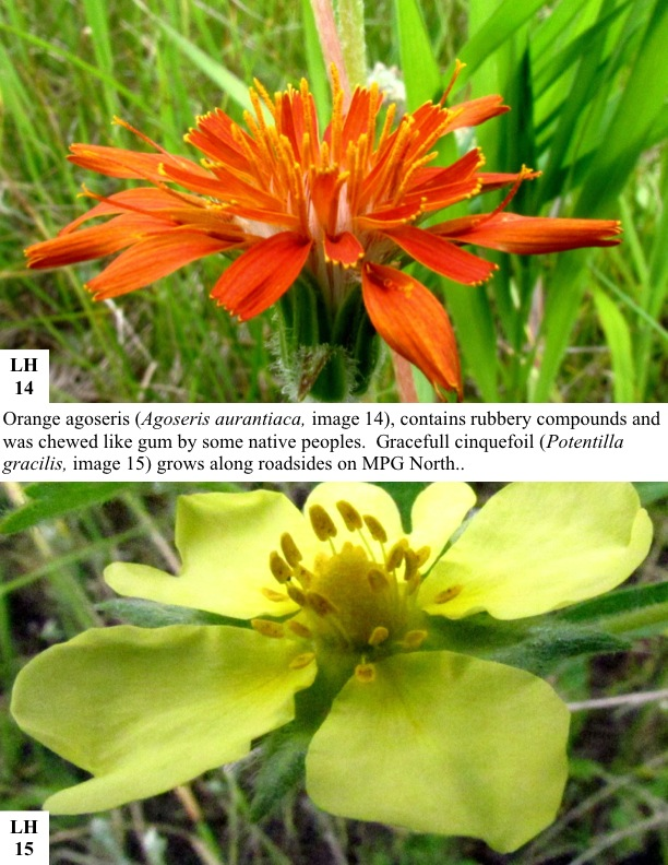 Orange agoseris (Agoseris aurantiaca, image 14), contains rubbery compounds and was chewed like gum by some native peoples. Gracefull cinquefoil (Potentilla gracilis, image 15) grows along roadsides on MPG North..