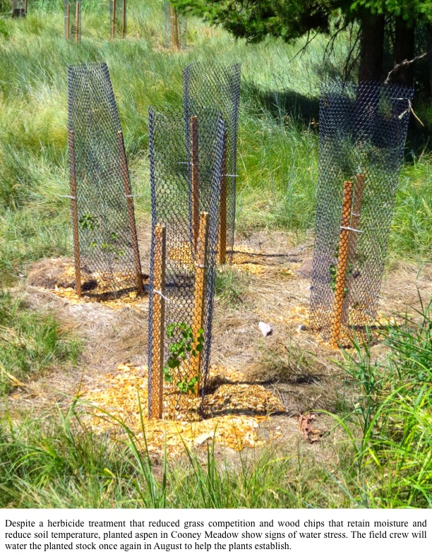 Despite a herbicide treatment that reduced grass competition and wood chips that retain moisture and reduce soil temperature, planted aspen in Cooney Meadow show signs of water stress. The field crew will water the planted stock once again in August to help the plants establish.