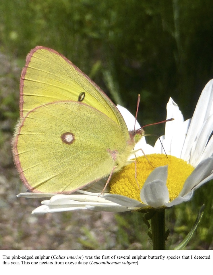 The pink-edged sulphur (Colias interior) was the first of several sulphur butterfly species that I detected this year.