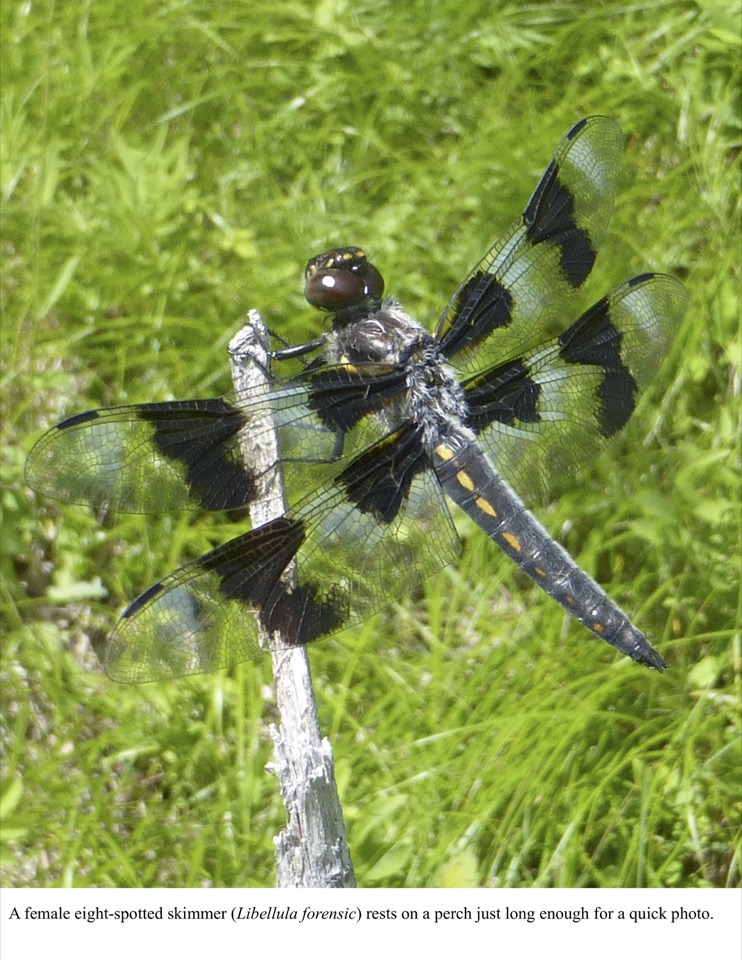 A female eight-spotted skimmer (Libellula forensic) rests on a perch just long enough for a quick photo.