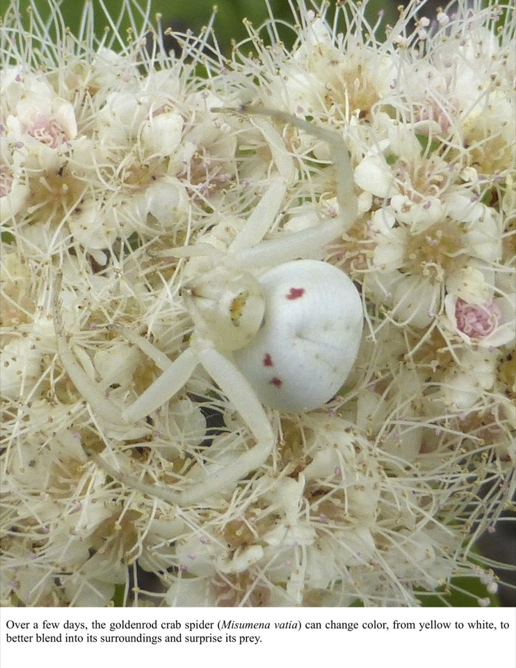 Over a few days, the goldenrod crab spider (Misumena vatia) can change color, from yellow to white, to better blend into its surroundings and surprise its prey.