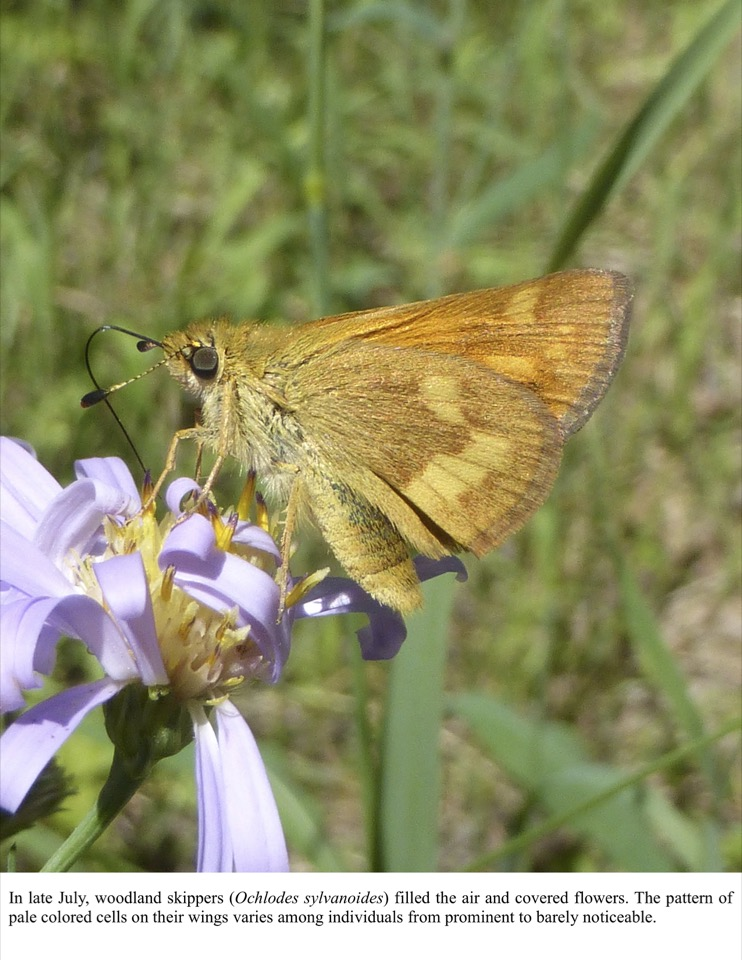 In late July, woodland skippers (Ochlodes sylvanoides) filled the air and covered flowers