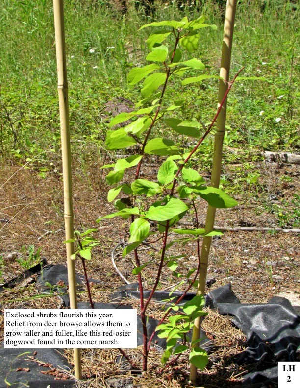 Exclosed shrubs flourish this year. Relief from deer browse allows them to grow taller and fuller, like this red-osier dogwood found in the corner marsh.